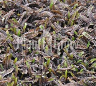 Leptinella potentillina 'Platt's Black' Koperknoopje