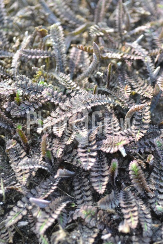 Leptinella potentillina 'Platt's Black' | Koperknoopje