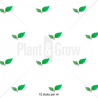 Plantafstand | Leptinella potentillina 'Platt's Black' (pot 9x9cm)