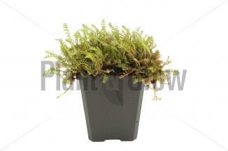 Leptinella squalida | Koperknoopje (pot 9x9cm)