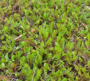 Leptinella squalida Koperknoopje