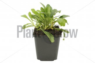 Leucanthemum (M) 'Alaska' | Margriet (pot 9x9cm)