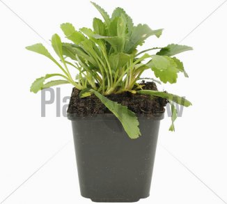 Leucanthemum (M) 'Alaska'   Margriet (pot 9x9cm)