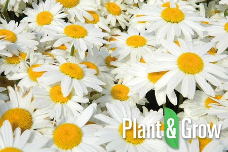 Leucanthemum (S) 'Silberprinzesschen' | Margriet