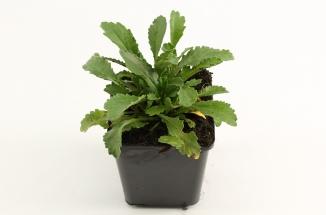 Leucanthemum (S) 'Silberprinzesschen' | Margriet (pot 9x9cm)