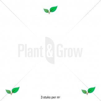 Plantafstand   Leucanthemum (S) 'Silberprinzesschen' (pot 9x9 cm)