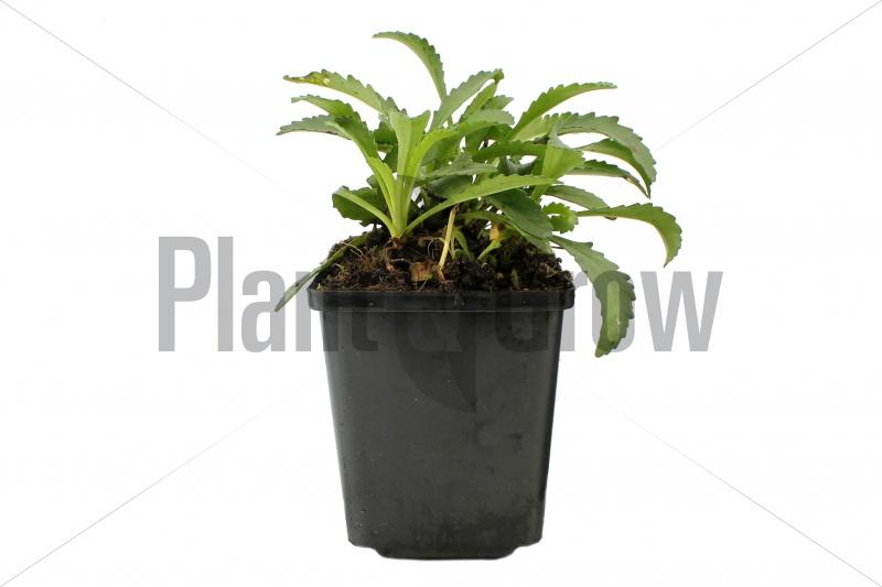Leucanthemum (S) 'Snow Lady' | Margriet (pot 9x9cm) - VOORJAAR