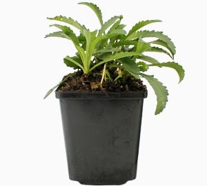 Leucanthemum (S) 'Snow Lady' Margriet