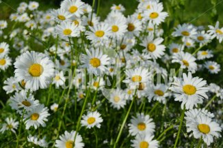 Leucanthemum vulgare 'Maikonigin' | Wilde margriet