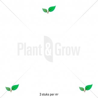 Plantafstand | Leucanthemum vulgare 'Maikonigin' (pot 9x9 cm)