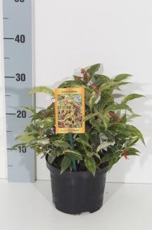 Leucothoe fontanesiana 'Rainbow' | Druifheide (Ø 17cm pot)