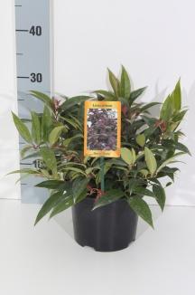 Leucothoe keiskei 'Royal Ruby' | Druifheide (Ø 17cm pot)