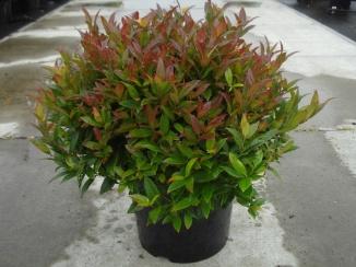 Leucothoe 'Zeblid' | Leucothoe (12L pot)
