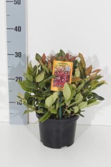Leucothoe 'Zeblid' | Leucothoe (Ø 17cm pot)