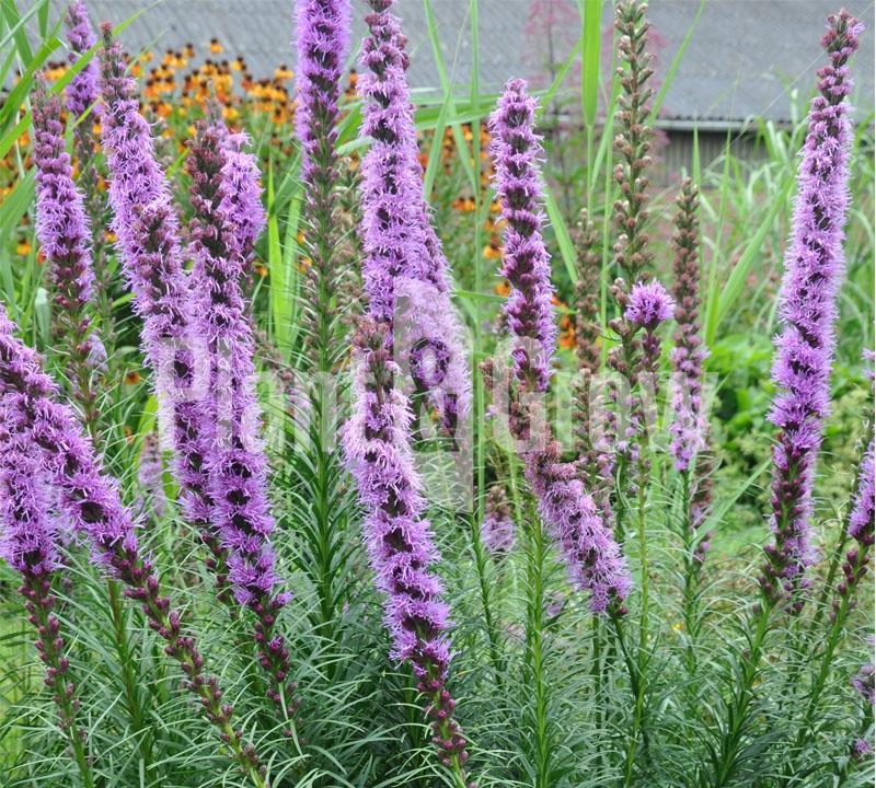 Liatris spicata 'Floristan Violet' Lampepoetser