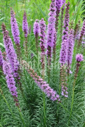 Liatris spicata 'Floristan Violet' | Lampepoetser