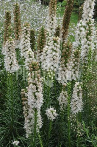 Liatris spicata 'Floristan Weiss' | Lampepoetser