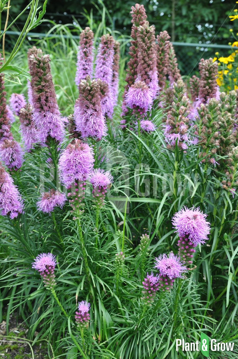 Liatris Spicata Kobold : liatris spicata 39 kobold 39 kopen plant grow ~ Watch28wear.com Haus und Dekorationen
