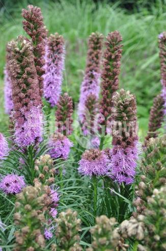 Liatris spicata 'Kobold' | Lampenpoetser
