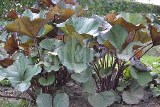 Ligularia dentata 'Othello'   Tongkruiskruid