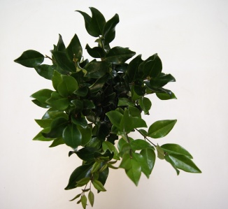 Ligustrum lucidum | Liguster (Ø 17cm pot)