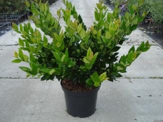 Ligustrum lucidum | Liguster (12L pot)