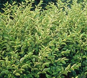 Ligustrum ovalifolium 'Aureum' Bonte ligusterhaag