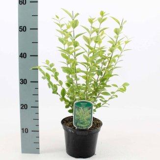 Ligustrum ovalifolium 'Aureum' | Bonte ligusterhaag (P17 pot)