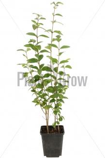 Ligustrum ovalifolium | Ligusterhaag (pot 9x9cm) - VOORJAAR