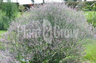 Limonium latifolium | Lamsoor
