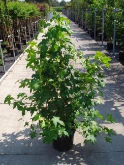 Liquidambar styraciflua | Amberboom (12L pot)
