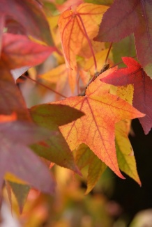Liquidambar styraciflua | Amberboom herfstkleur