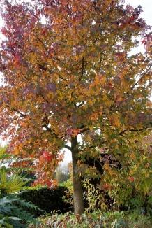 Liquidambar styraciflua | Amberboom als hoogstamboom