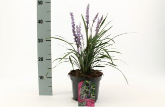Liriope muscari 'Moneymaker' | Leliegras (Ø 17cm pot)