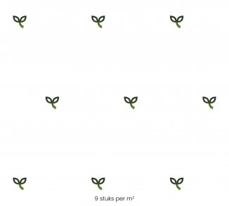 Plantafstand | Liriope muscari 'Moneymaker' (pot 9x9 cm)