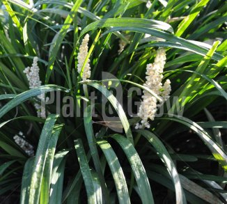 Liriope muscari 'Monroe White' Leliegras