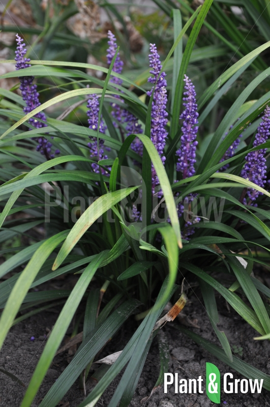 Liriope muscari 'Royal Purple' | Leliegras