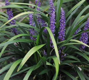Liriope muscari 'Royal Purple' Leliegras