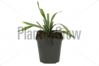 Liriope muscari 'Royal Purple' | Leliegras (pot 9x9cm) - VOORJAAR