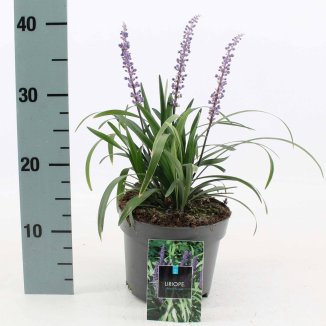 Liriope muscari 'Royal Purple' | Leliegras (Ø 17cm pot)