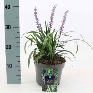 Liriope muscari 'Royal Purple' | Leliegras (Ø 17cm pot)
