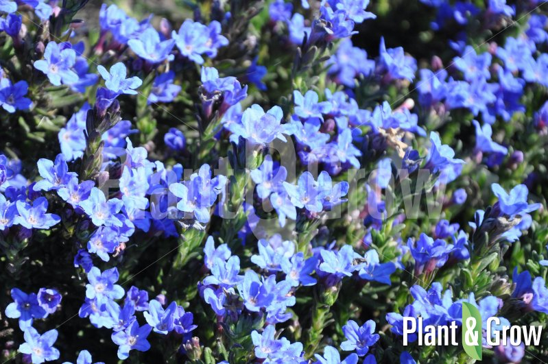 lithodora diffusa 39 heavenly blue 39 kopen plant grow. Black Bedroom Furniture Sets. Home Design Ideas