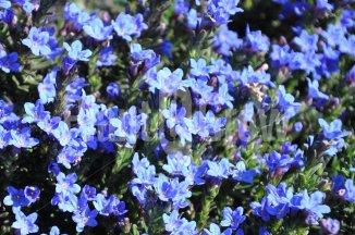 Lithodora diffusa 'Heavenly Blue' | Steenzaad