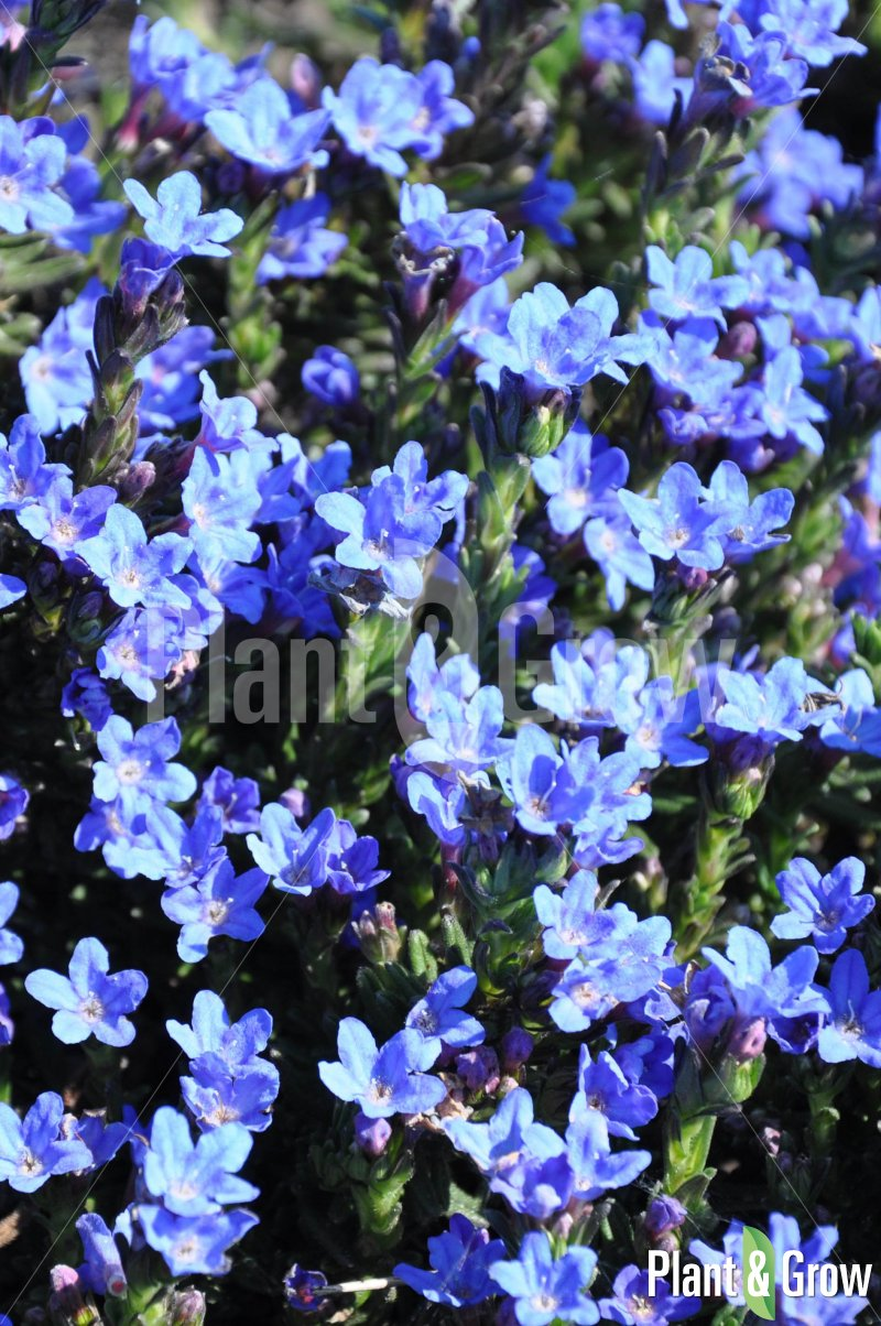 Lithodora diffusa 'Heavenly Blue' | Steenzaad