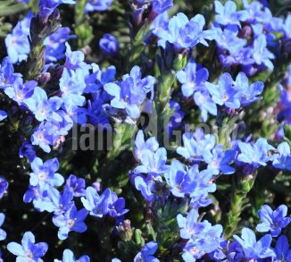 Lithodora diffusa 'Heavenly Blue' Steenzaad