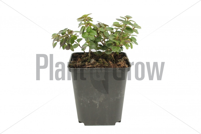 Lonicera crassifolia 'Little Honey' | Dwergkamperfoelie (pot 9x9cm)