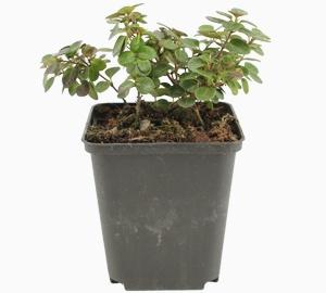 Lonicera crassifolia 'Little Honey' Dwergkamperfoelie