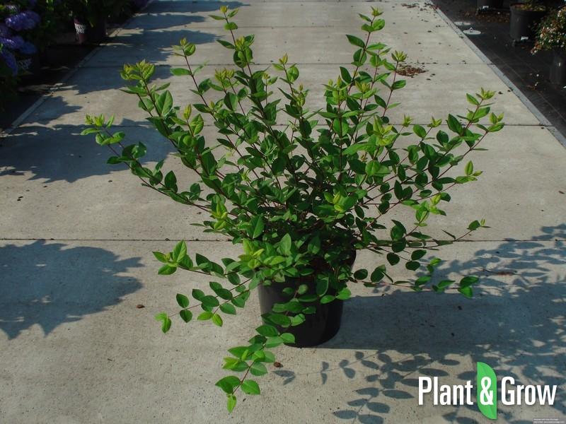Lonicera fragrantissima | Struikkamperfoelie (12L pot)
