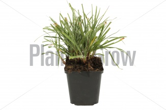Luzula nivea | Veldbies (pot 9x9cm) - NAJAAR
