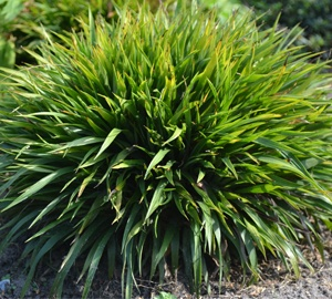 Luzula pilosa 'Igel' Ruige veldbies